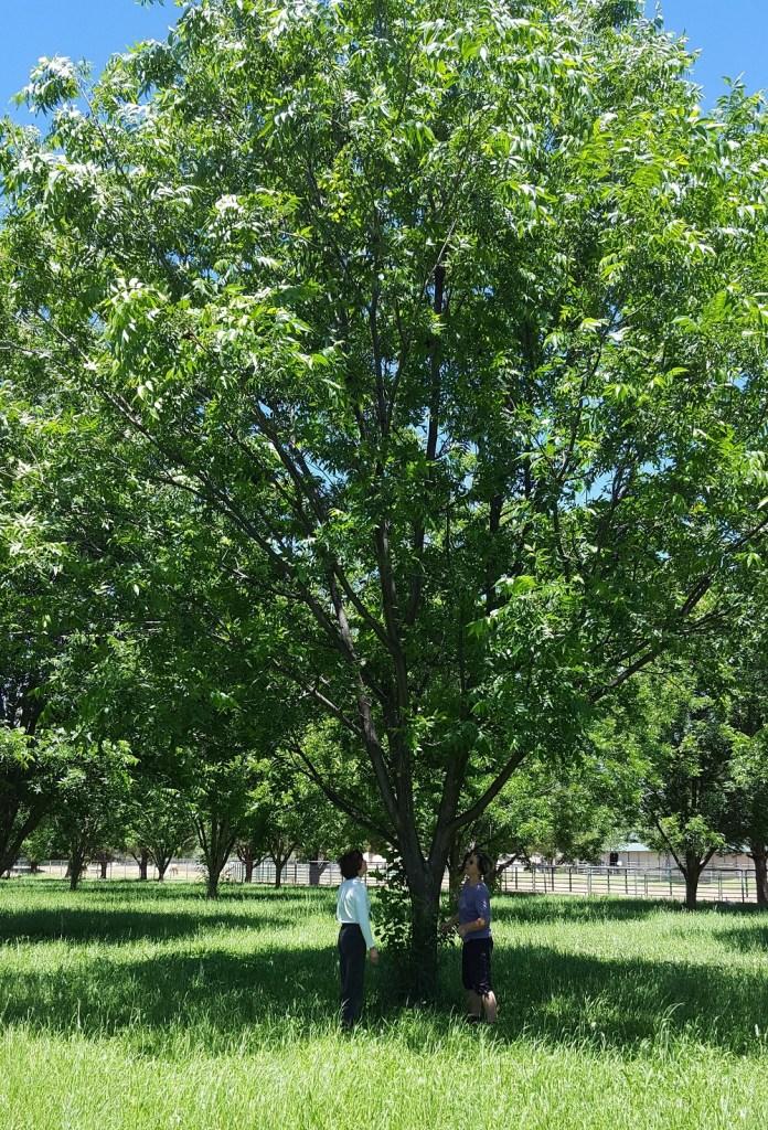 Pecan Trees