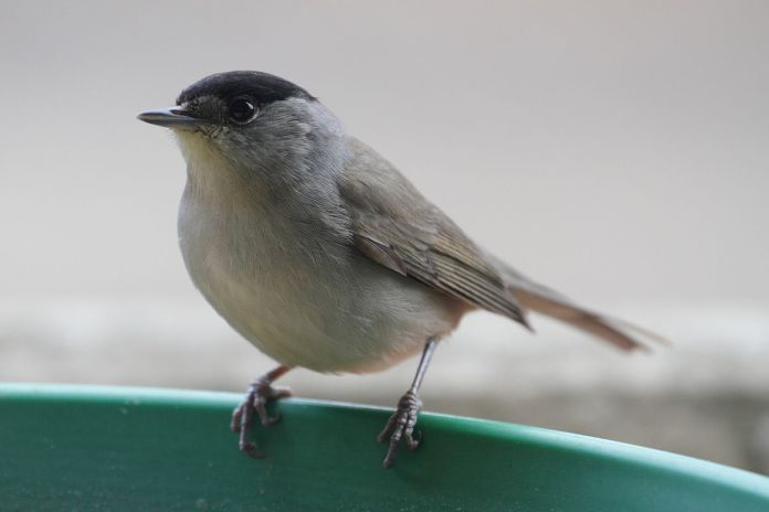 The beautiful and restless blackcap, ally of the field