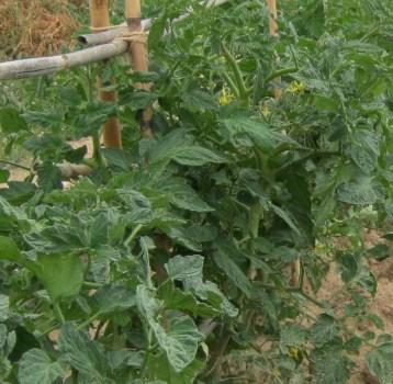 tomates-ecologicos-041