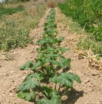 calabacin-verde-ecologico-3333