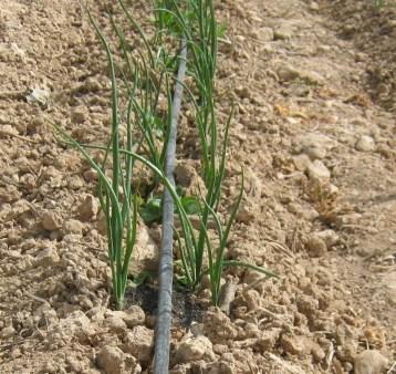 cebolla-ecologica-19
