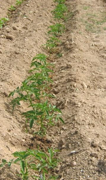 tomate-pera-ecologica-19
