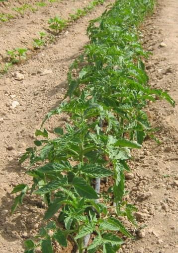 tomate-pera-ecologica-192