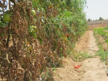 tomates-ecologicos-6633