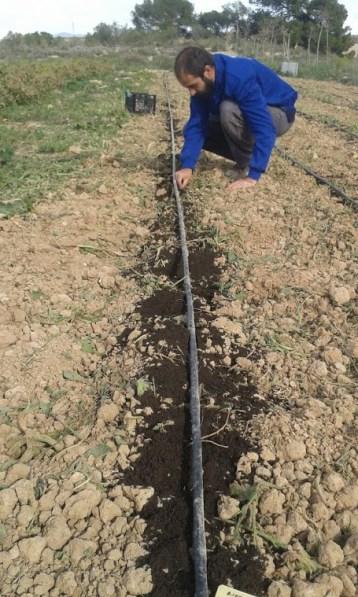 plantación ajos 2