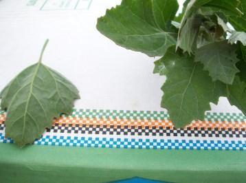 cenizo-bledo