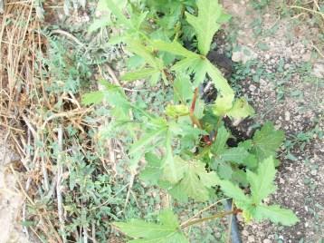 okra-verde-acolchado