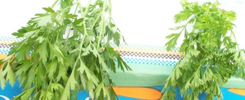 perejil-rizado-italia