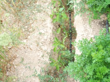 pimiento-etuda-zanahoria-perejil