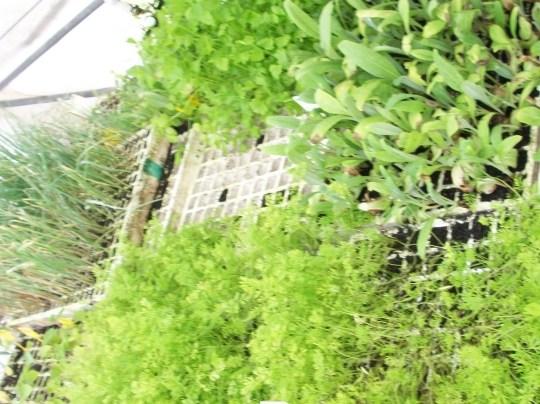 plantones-alcachofa