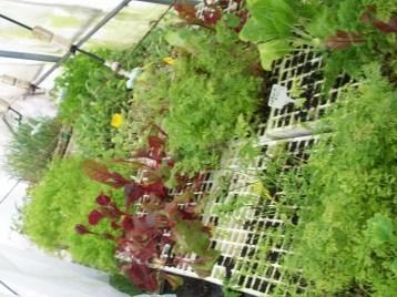 plantones-zanahoria