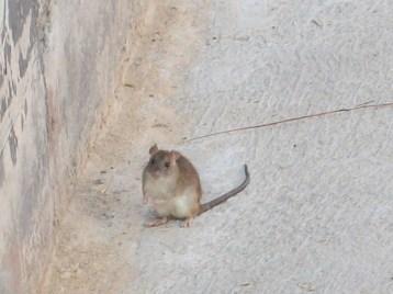 rata-del-campo-2