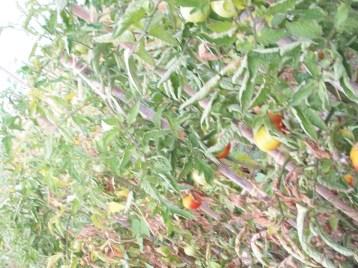 tomate-barbastro-de-montana-frutos