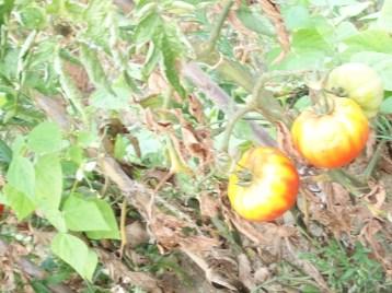 tomate-berbastro-frutos