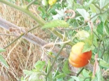 tomate-berbastro-tierno-dulce