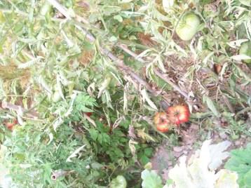 tomate-povedilla-grande