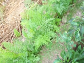 zanhoria-corazon-de-verano-pimiento-multicolor-acolchado
