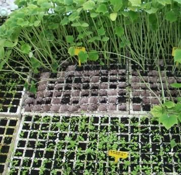 pepino-perejil-italia-plantones