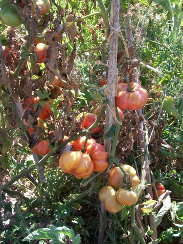 planta-tomate-montserrat-4