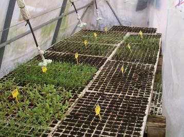 plantones-acelga-hinojo-cebolla