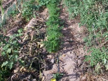 zanahoria-red-100_3395
