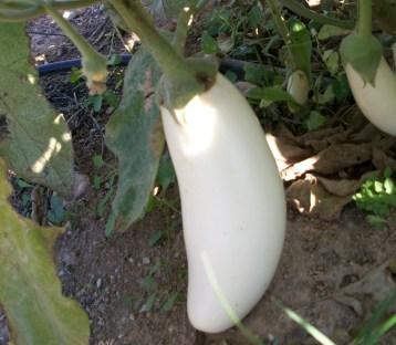 verduras-ecologicas-de-otono-bacarot-granja-masphael-100_3640