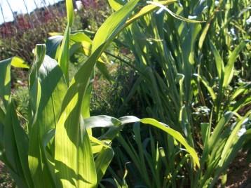 verduras-ecologicas-de-otono-bacarot-granja-masphael-100_3659