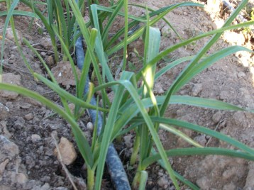 verduras-ecologicas-de-otono-bacarot-granja-masphael-100_3671