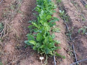 verduras-ecologicas-de-otono-bacarot-alicante-100_3770-2
