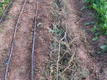 verduras-ecologicas-de-otono-bacarot-alicante-100_3771-2