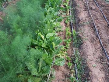 verduras-ecologicas-de-otono-bacarot-alicante-100_3772
