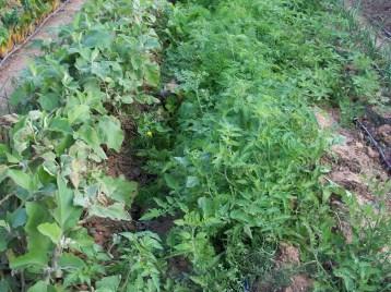 verduras-ecologicas-de-otono-bacarot-alicante-100_3784-2