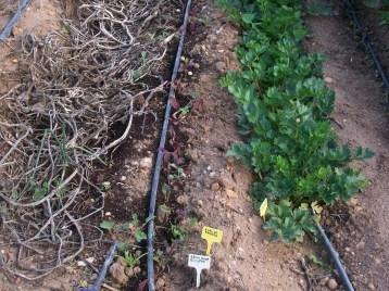 verduras-ecologicas-de-otono-bacarot-alicante-100_3792