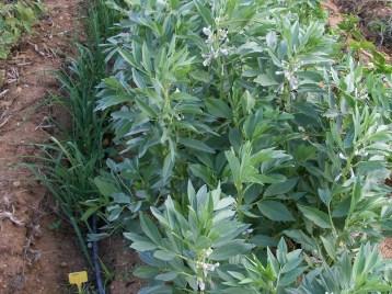verduras-ecologicas-de-otono-bacarot-alicante-100_3795