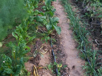 verduras-ecologicas-de-otono-bacarot-alicante-100_3798