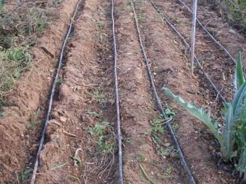 verduras-ecologicas-de-otono-bacarot-alicante-100_3805