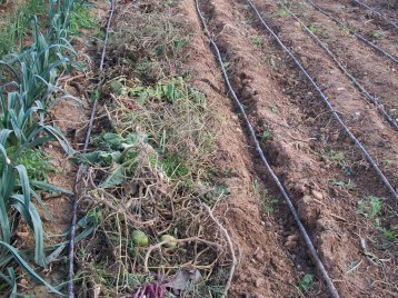 verduras-ecologicas-de-otono-bacarot-alicante-100_3806