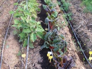 verduras-ecologicas-de-otono-bacarot-alicante-100_3811