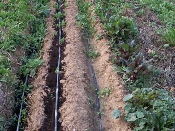 verduras-ecologicas-de-otono-bacarot-alicante-100_3819