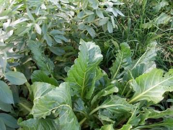 verduras-ecologicas-de-otono-bacarot-alicante-100_3829