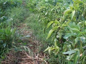 verduras-ecologicas-de-otono-bacarot-alicante-100_3830