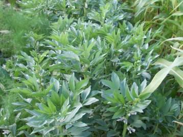 verduras-ecologicas-de-otono-bacarot-alicante-100_3834