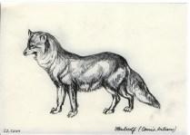 Heulwolf
