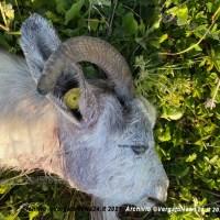 Attenti al lupo! Strage di ovini a poche centinaia di metri da Vergato