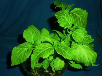 Salvia-dibinorum-web