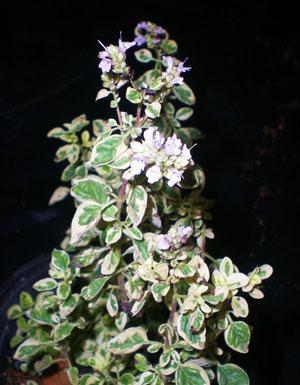 Oregano-variegado-web