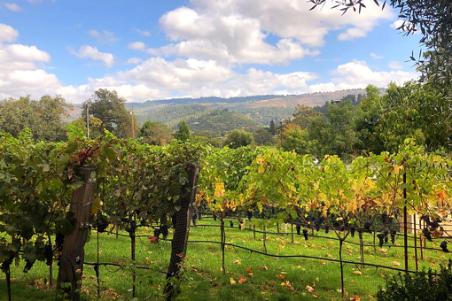 Brasswood Vineyard in St. Helena Wine Country California