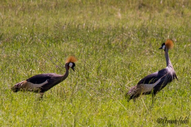 Grey-Crowned Cranes (Photograph by Franz Fuls)