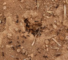 Ants clearing nest entrance from twigs and other debris on a windy day.