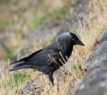jackdaws crows
